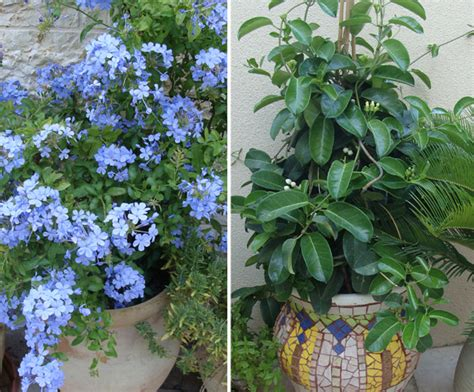 climbing plants for pots fill your container garden with plants that climb