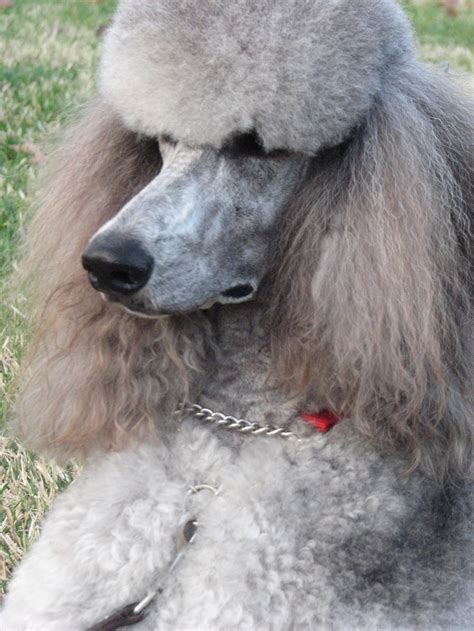 standard poodle hair styles 122 best poodle cuts clips styles images on pinterest