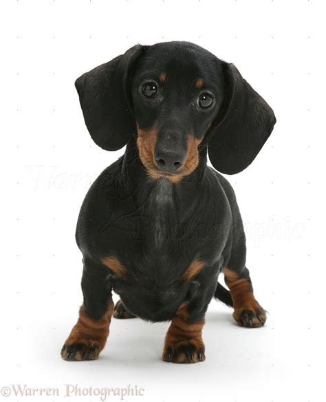 black and dachshund puppy black and dachshund pup photo wp11234