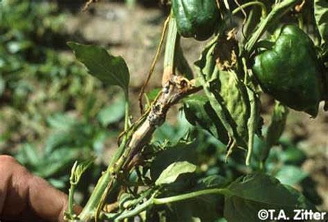 Plants In House Pepper White Mold Photo