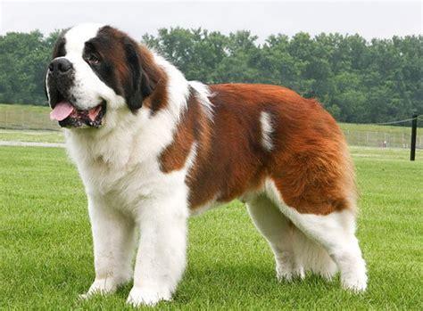 st bernard puppy dogs pets bernard dogs