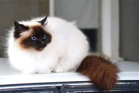 Boneka Hewan Kucing Siam Jumbo 15 ciri ciri kucing himalaya jenis harga cara merawat