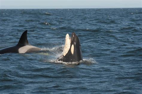 killer whale plastic orca calf struggles with plastic bag in his