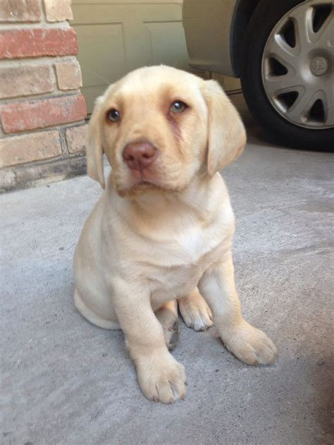 dudley lab puppies pin by katherine allen on i dudley labradors