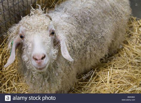 Angora Mohair by Angora Goat Mohair Stock Photos Angora Goat Mohair Stock