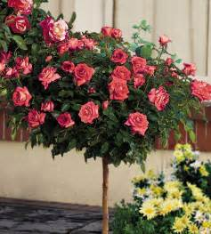 Patio Roses For Sale by Tree Roses Sale Submited Images