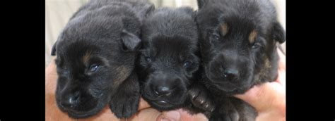 german shepherd puppies for sale oregon zimmerhoff german shepherds german shepherd breeder in oregon puppies for sale