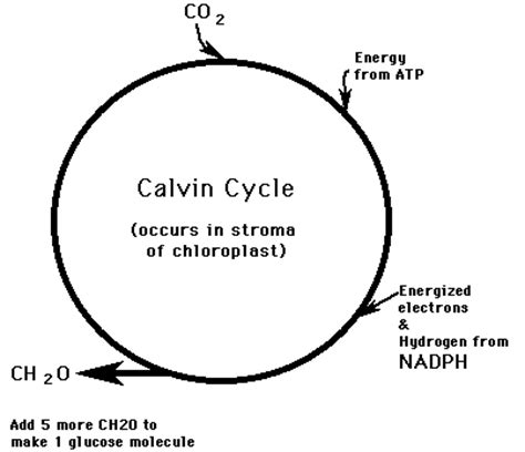 Where Do The Light Independent Reactions Of Photosynthesis Occur by Photosynthesis Vis Ib Bio
