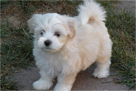 size of havanese havanese puppies breed facts pictures price temperament animals adda