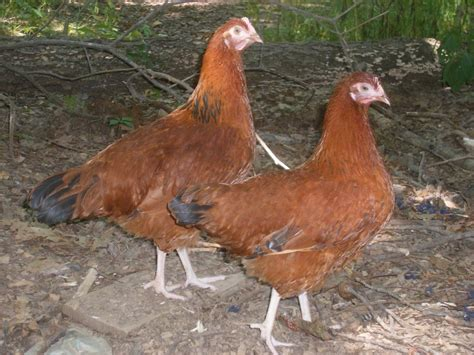 backyard chickens forum backyard chickens forum quot mutt quot chickens page 3
