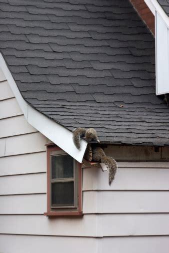 squirrels  attic stock photo  image  istock