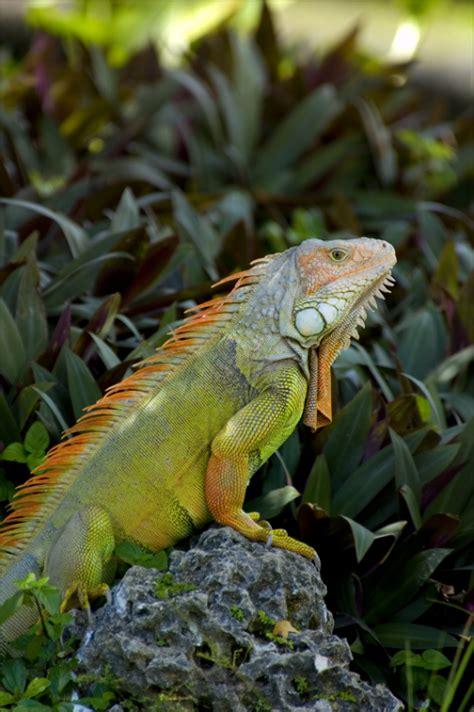 imagenes de iguanas blancas todo iguana taringa