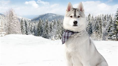 wallpaper huskies dog puppy snow forest winter white
