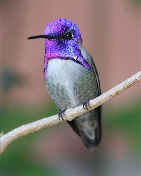 male costa s hummingbirds side views costas hummingbird