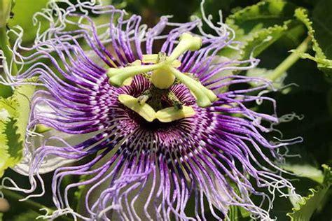 fiore frutto della passione frutto della passione propriet 224 usi e valori