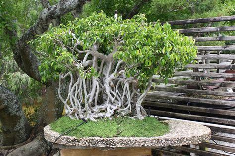 Bibit Ginseng Jawa ilmu tanaman mengenal bonsai beringin dan proses