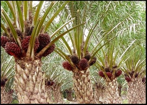 Minyak Inti Kelapa Sawit kelapa sawit agrobisnes