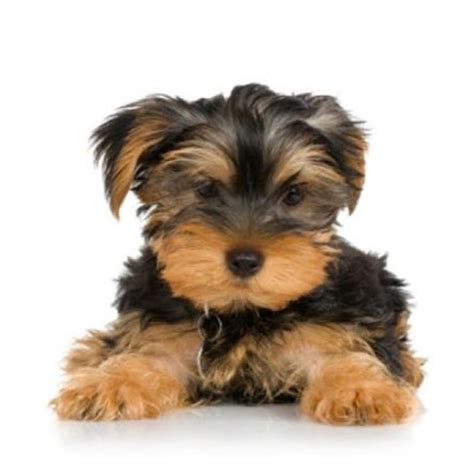 pictures of mini yorkies miniature terrier mini yorkies from around the world