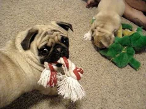 bulldog vs pug bulldog vs pug in tug o war