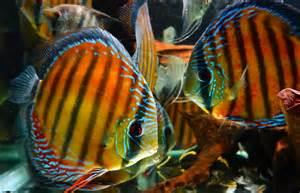 Santarém Discus   Ornamental Fish   Wild Discus   Company