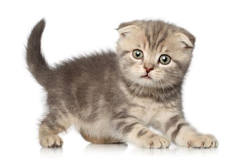 Scottish Kilt Cat: The Scottish Fold Munchkin   www