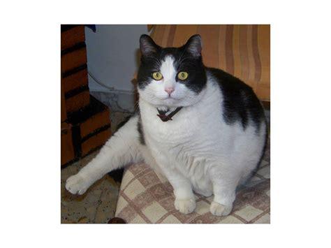 gatti persiani bianchi gatti bianchi e neri quot persbaglio quot