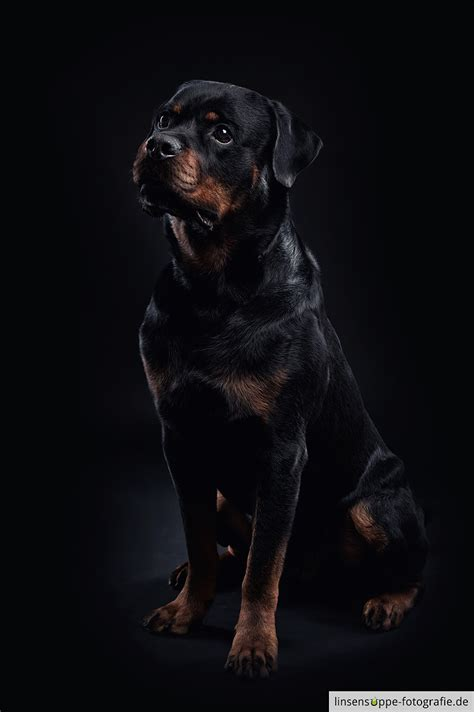 show me a rottweiler rottweiler on black background by linsensuppe fotografie 500px