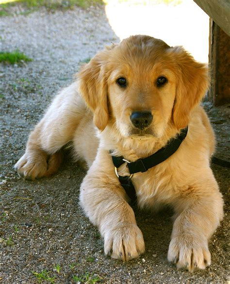 golden retriever standards home golden retrievers