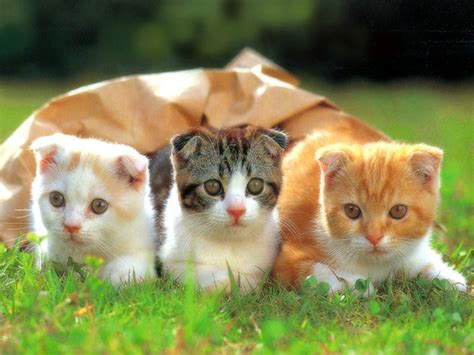 three cute kittens funny kittens wallpapers funny animals