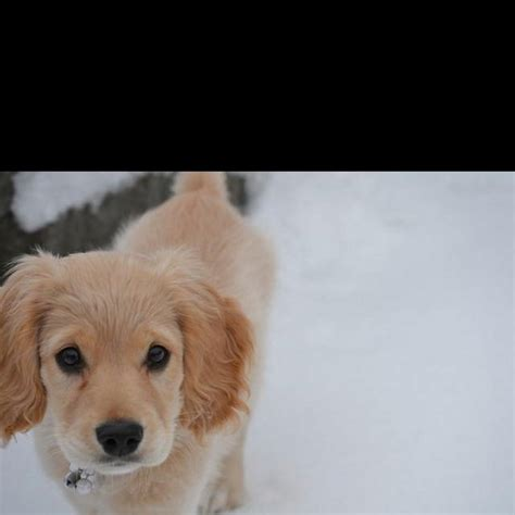 how does a golden retriever look like de 25 bedste id 233 er inden for golden retriever mix p 229