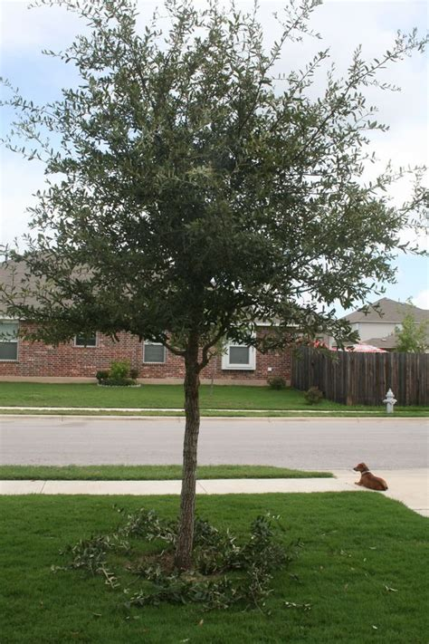 pruning live oaks can be done now if done right www