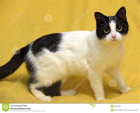 imagenes en blanco y negro gatitos gato blanco y negro con los ojos amarillos foto de archivo