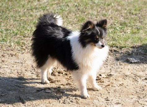 pomeranian and sheltie mix poshie pomeranian x sheltie mix info temperament puppies pictures