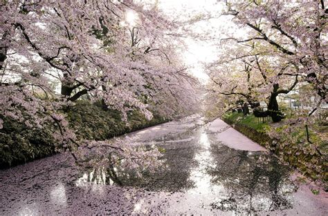 imagenes de japon paisajes paisaje de cerezos una verdadera hermosura jap 243 n