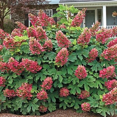 ruby slippers oakleaf hydrangea buy ruby slippers oakleaf hydrangea at hill