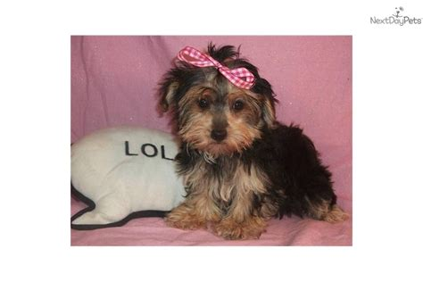 teacup yorkie in ohio yorkiepoo yorkie poo puppy for sale near zanesville cambridge ohio 4993e438 ad71