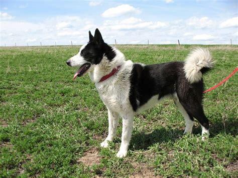 karelian puppy karelian it s a dogs