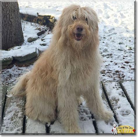 golden retriever poodle mix rescue the 25 best ideas about golden retriever poodle mix on golden doodles