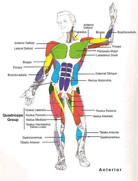 muscles of the diagram human muscles diagram applecool info