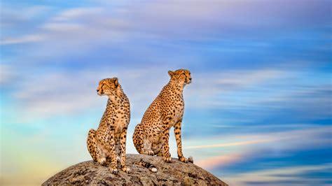 wallpaper cheetah pair hd animals