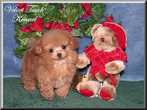 teacup puppies for sale in louisiana teacup yorkie puppies for sale in louisiana teacup poodles for breeds picture