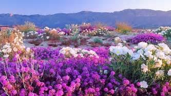anza borrego bloom super bloom of wildflowers days away in anza borrego desert kpbs