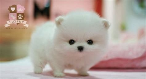how to take care of a teacup pomeranian it s so i dogs that look like snowballs random findings