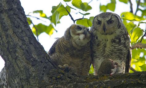 the great horned owls of sikome lake bird canada