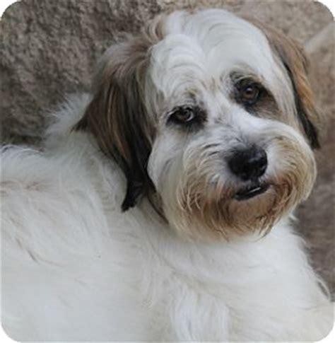shih tzu tibetan terrier mix allentown pa shih tzu tibetan terrier mix meet tiki a for adoption
