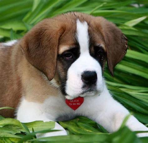 how much are st bernard puppies bernard puppy pictures jpg hi res 720p hd