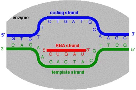 how is the template strand for a particular gene determined transcription from dna to rna