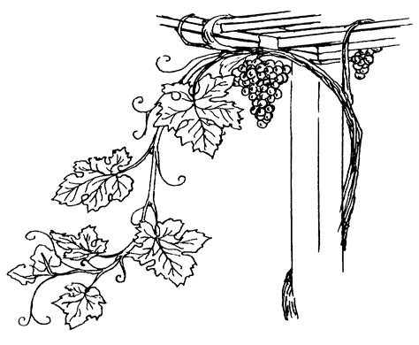 Coloring Page Vine And Branches by File Grapevine Psf Png Wikimedia Commons