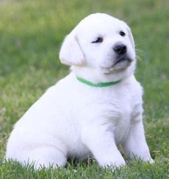labrador appartamento regalo cuccioli di labrador maschile e femminile annunci