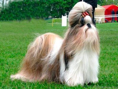 manchu shih tzu shih tzu el perro le 243 n glamuroso mundo
